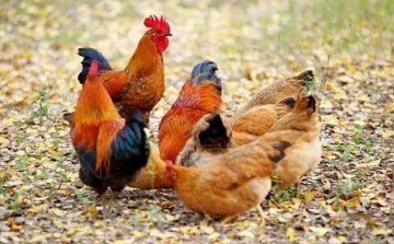 家禽提货系统,土鸡土鸭提货系统