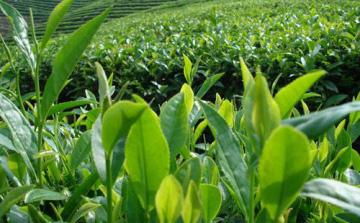 茶叶提货系统,茶礼品提货系统